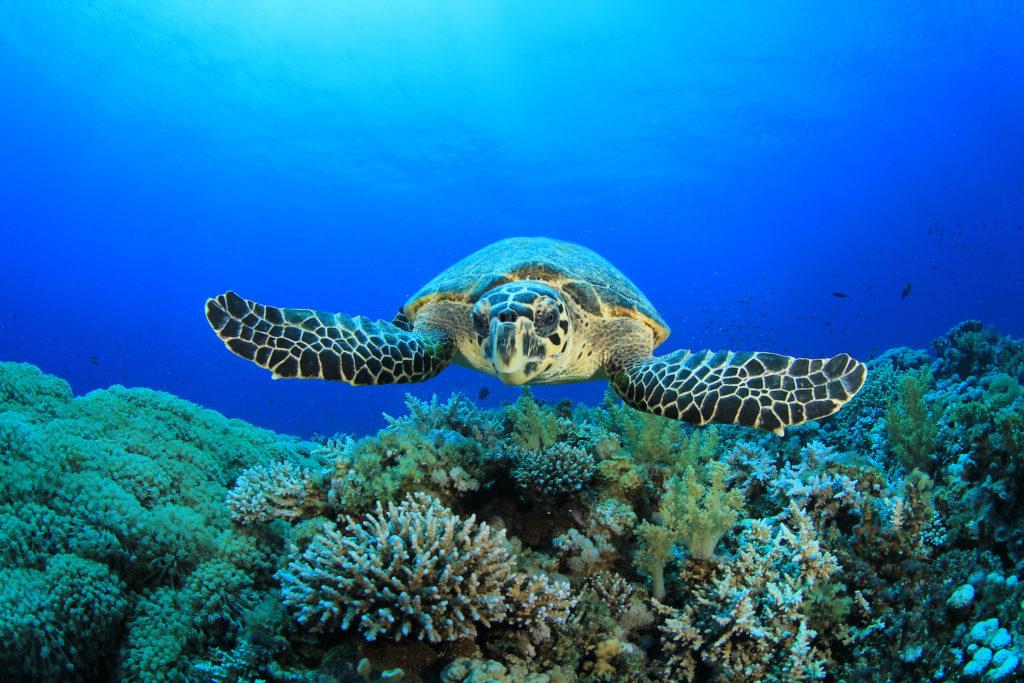 Hawksbill sea turtle by Rich Carey Shutterstock