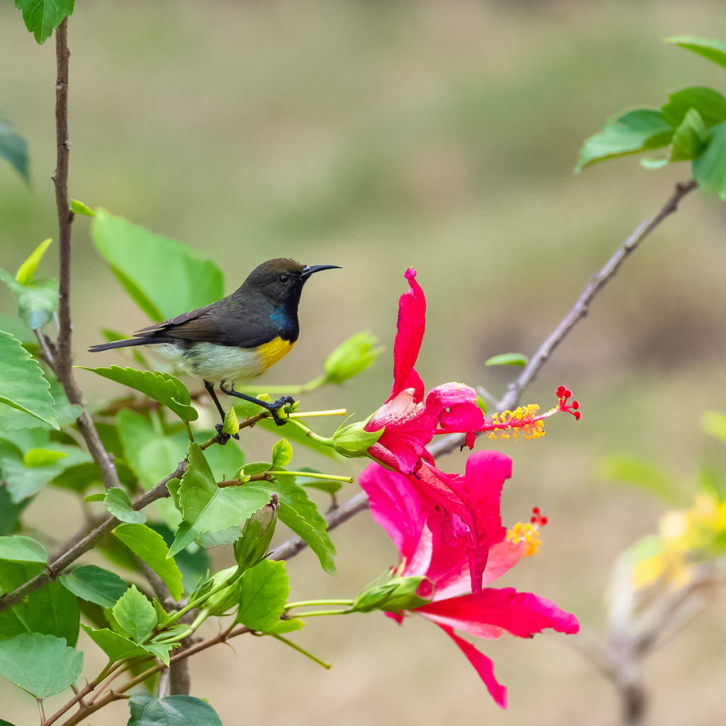 Newtons sunbird Sao Tome Principe by Pascale Gueret Shutterstock
