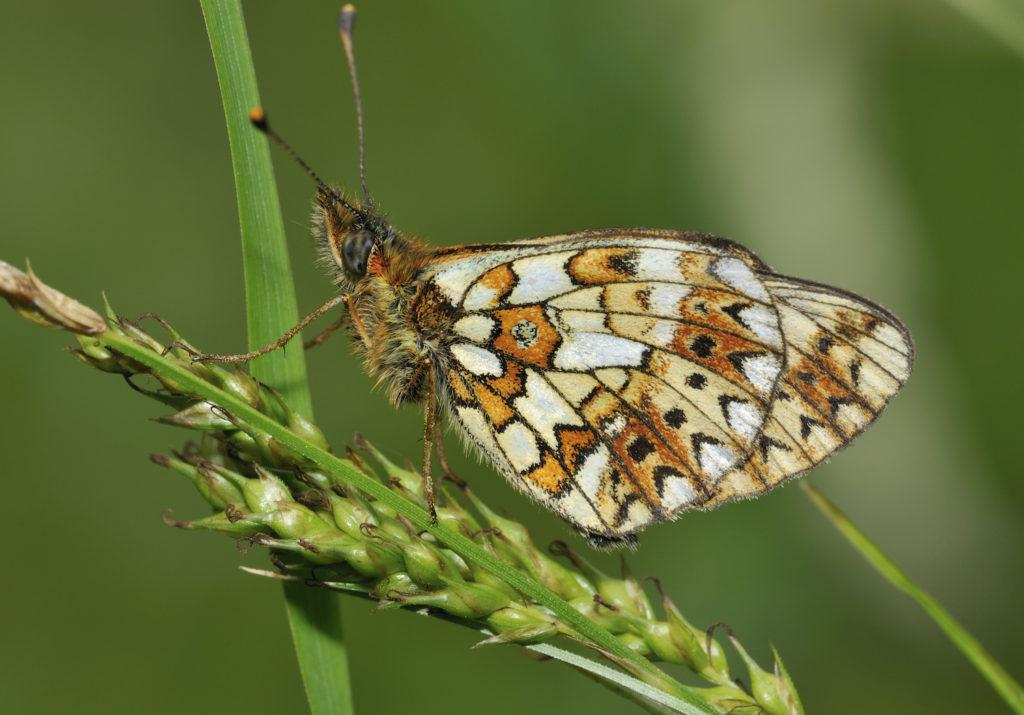 Firtillary Butterfly by Martin Fowler Shutterstock