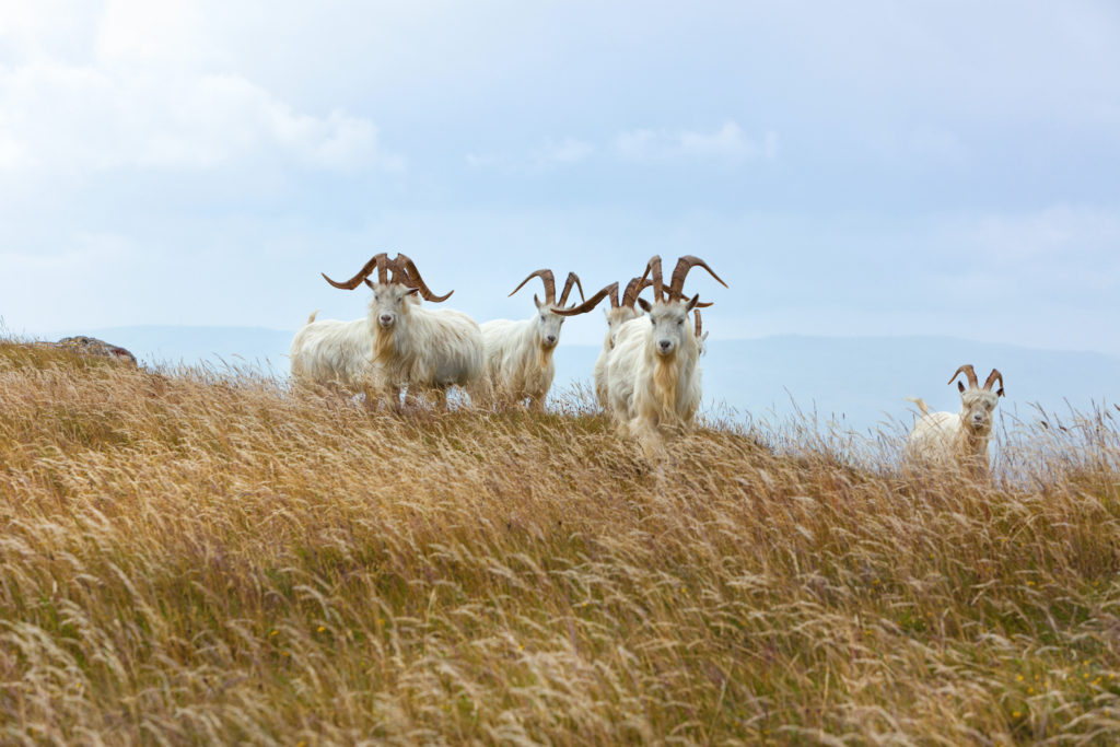 Goats Great Orme Head Wales by Oliver Hoffman Shutterstock wildlife breaks Wales