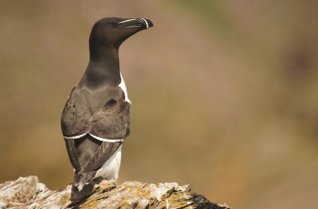 Razorbill Bardsey Island Wales by Ed Betteridge Shutterstock