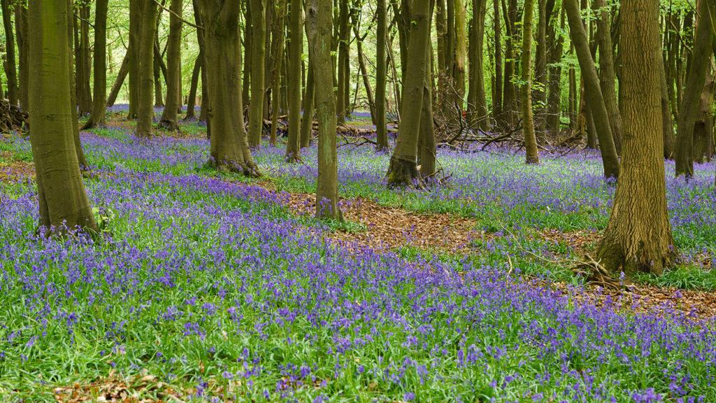 Bluebells, Ashridge Estate, Chilterns, Colin, Wikimedia Commons