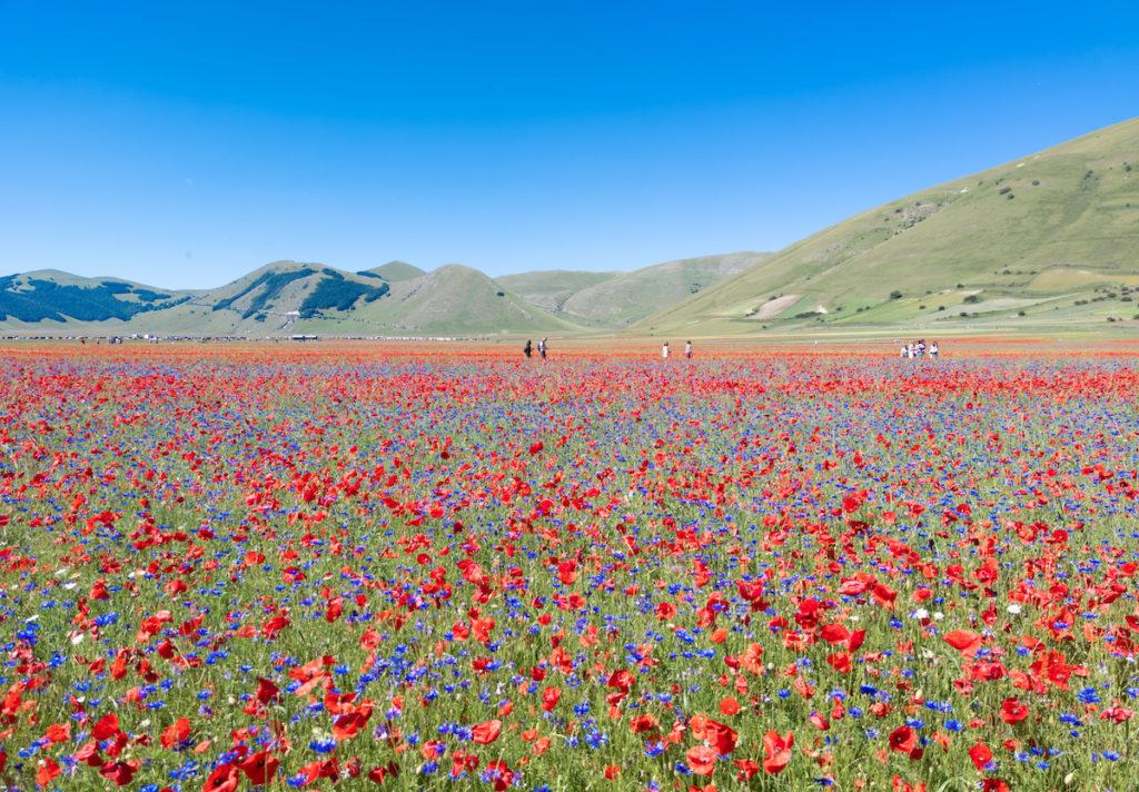 Poppies Castelluccio di Norcia Umbria by ValerioMei Shutterstock