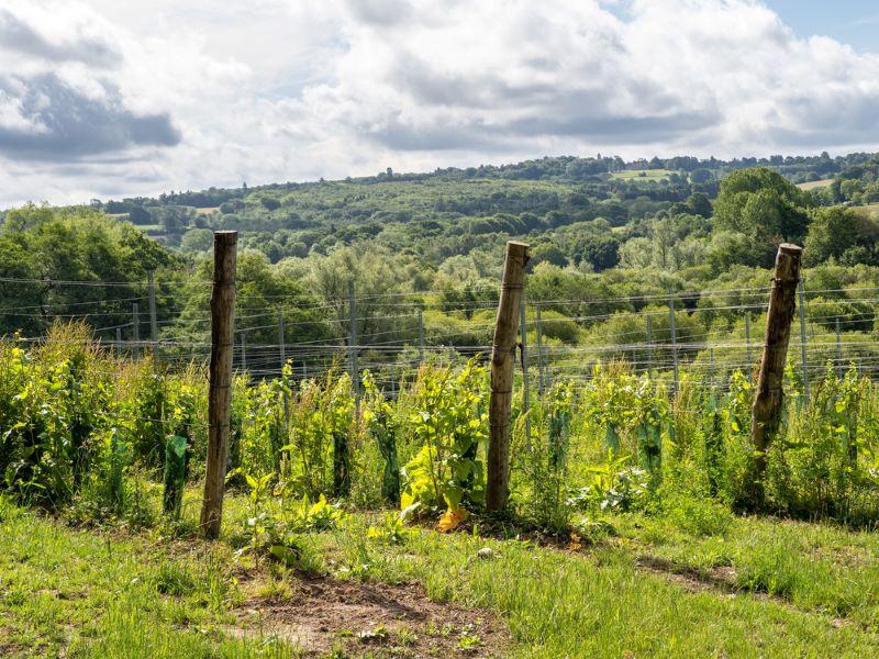 Kingscote Estate, one of best Sussex vineyards