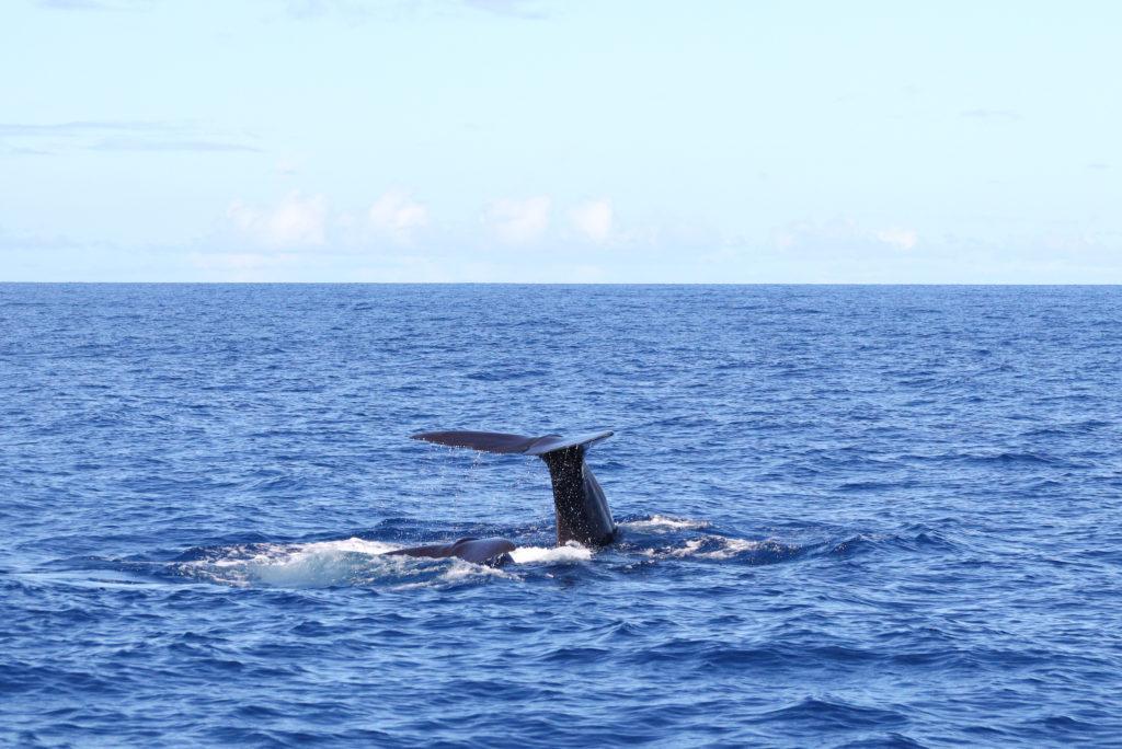 Sperm whale, Dominica by Alan Carter, Shutterstock