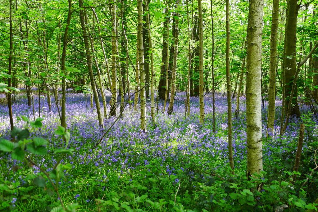 Bisham Woods Thames Path wild woods