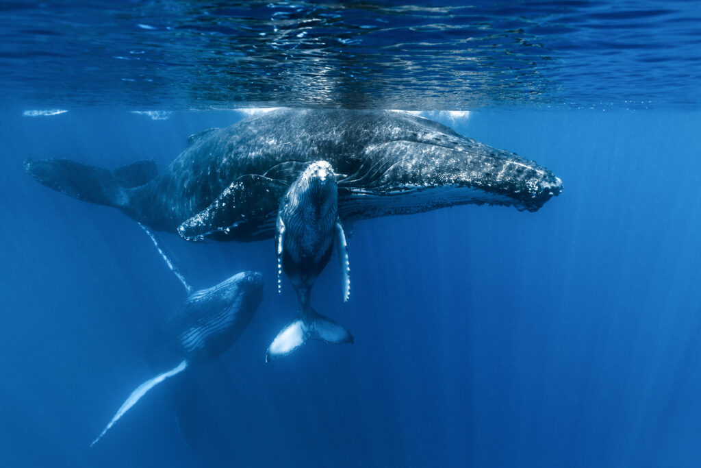 Trio of Whales Yves Guenot Focus for Survival