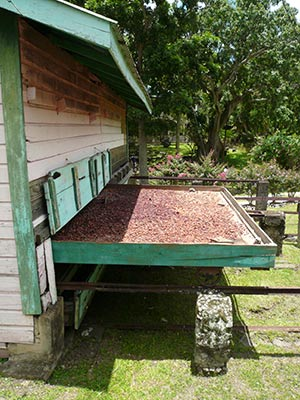 Cocoa beans drying in the sun © Claire Strange