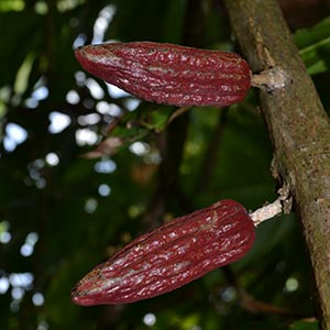 Cocoa beans on the tree © Adam Strange