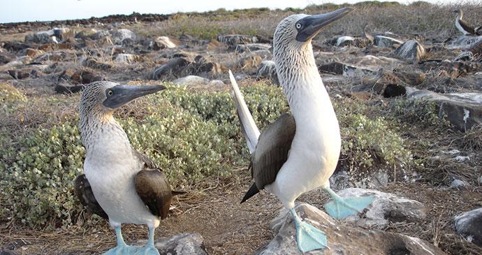 Dancing Boobies, Galapagos