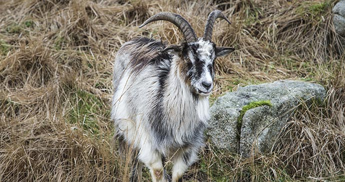 A wild goat in Galloway Forest Park © Jan Holm, Shutterstock