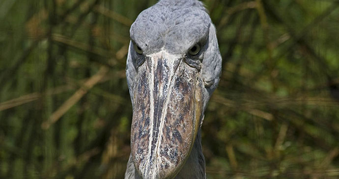 Shoebill by Hjalmar Gislason, Wikimedia Commons