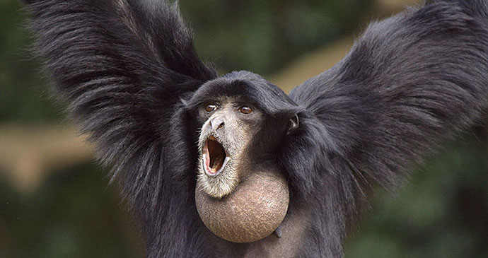 Siamang by Suneko, Wikimedia Commons