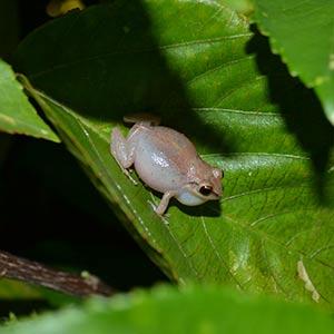 Whistling frog © Adam Strange