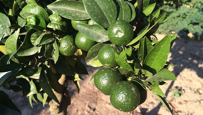 Chinotti oranges, Liguria, Italy by Rosie Whitehouse
