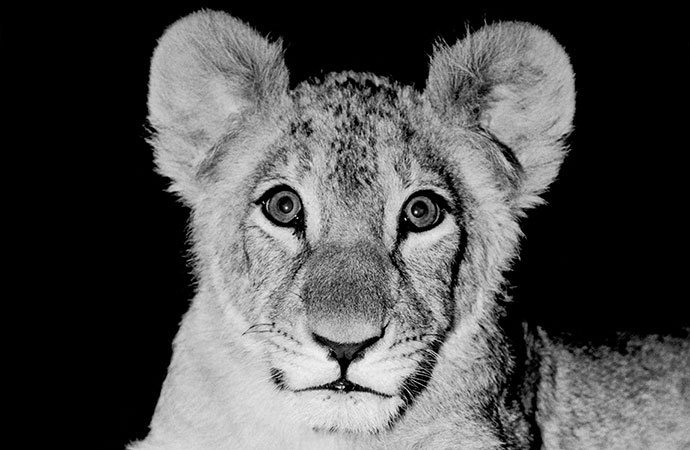 Baby Christian the Lion