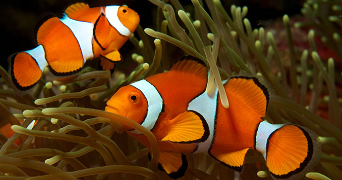 Clownfish, Papua New Guinea © Nick Hobgood, Wikimedia