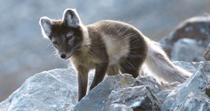 Arctic Fox by Michael Haferkamp, Wikimedia Commons