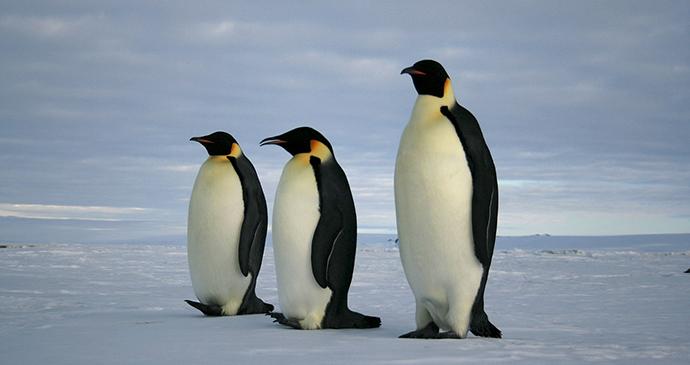 Emperor penguin Antarctica by Rodrigo Argenton, Wikimedia Commons