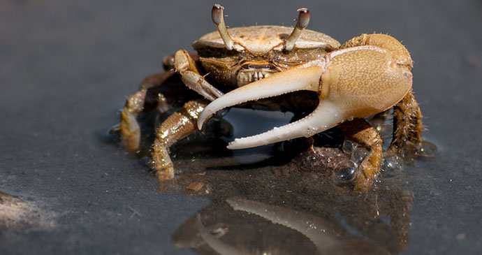 Fiddler crab by The Photographer, Wikimedia Commons