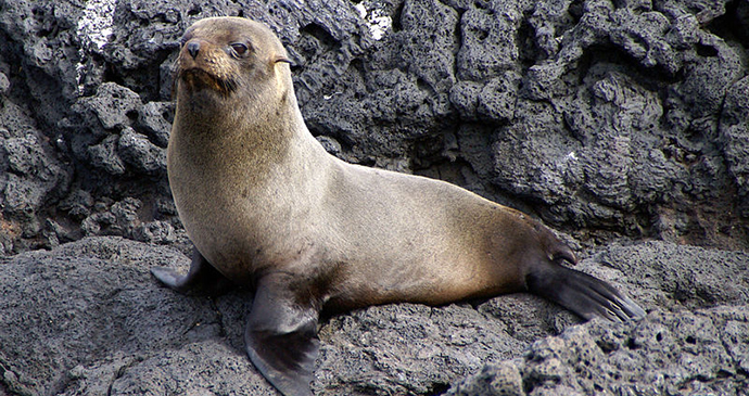 Galapagos fur seal by Putneymark, Wikimedia Commons