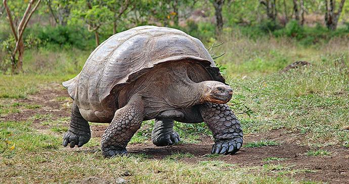 Giant tortoise Galapagos by putneymark, Wikimedia Commons