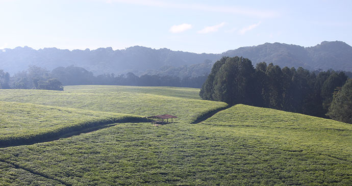 Gisakura Tea Estate, Nyungwe Forest National Park, Rwanda by Anna Moores
