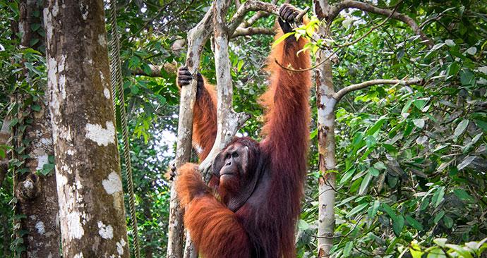 Orangutan, Semenggoh Nature Reserve, Sarawak, Malaysia, Borneo, Asia by R.M. Nunes, Shutterstock
