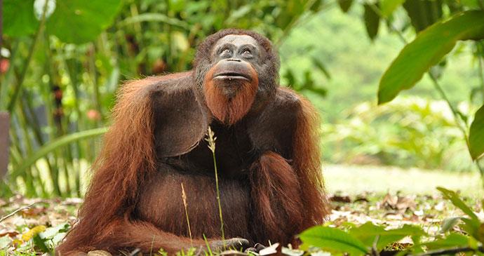 Orangutan Sepilok Sanctuary Sabah Borneo by Lisette van der Kroon