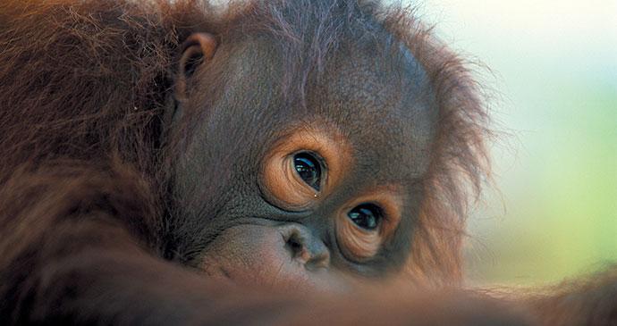 Orangutan, Malaysia, Borneo, Asia by Sarawak Tourism