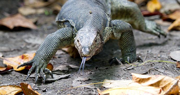 komodo dragon, Borneo, Malaysia, Asia by Cuson, Shutterstock