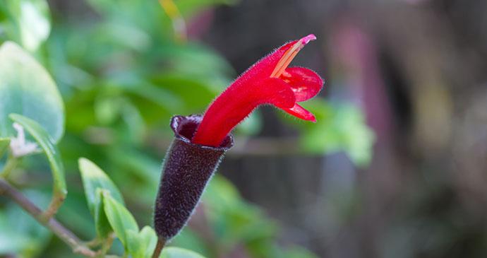 Lipstick flower, Borneo by Praiwun Thungsarn, Shutterstock