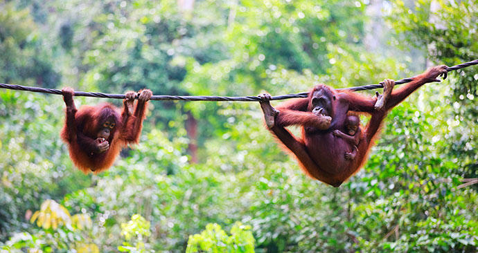 Orangutan, Sepilok Orangutan Rehabilitation Centre, Malaysia, Borneo, Asia by BlueOrange Studio, Shutterstock