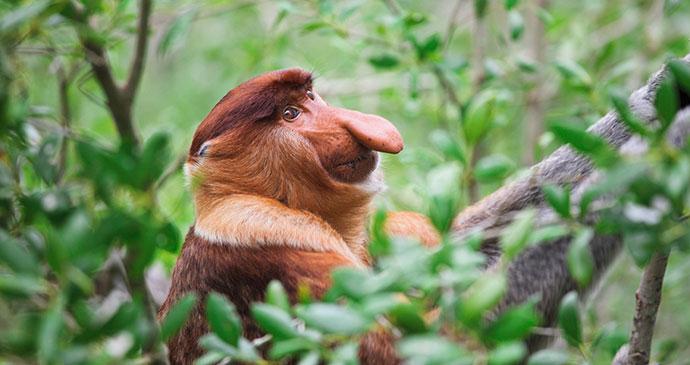 Proboscis monkey, Bako National Park, Borneo, Malaysia © Gualtiero Boffi, Shutterstock