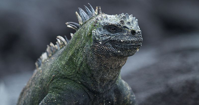 Marine iguana in the Galapagos by Brian Gratwick, Wikimedia Commons