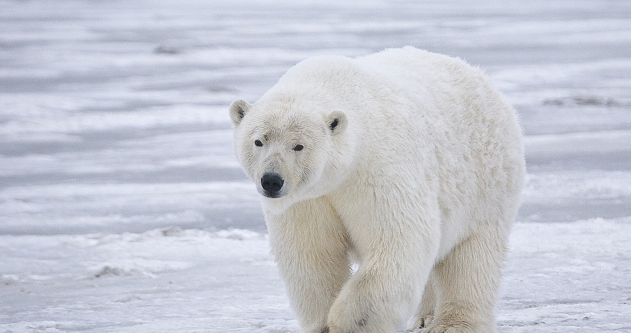 Polar Bear in the Arctic by Alan D. Wilson, Wikimedia Commons