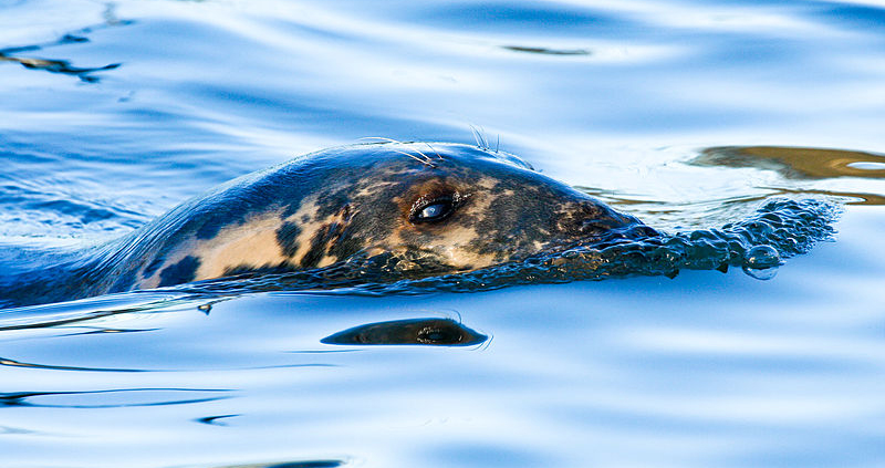 Ringed Seal in the Arctic by Matti Averio, Wikimedia Commons