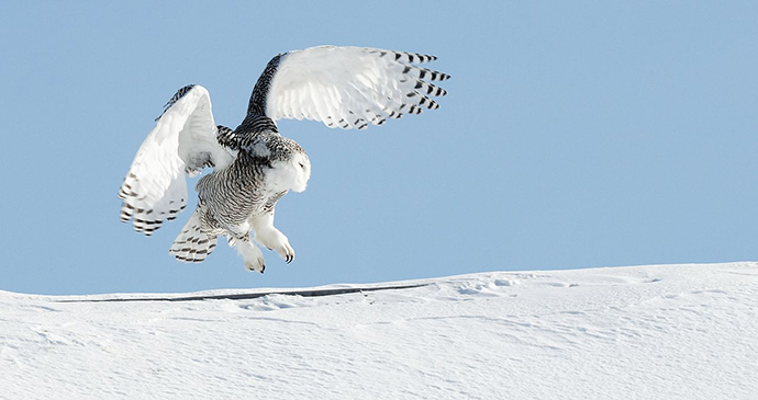 Snowy Owl in the Arctic by Bert de Tilly, Wikimedia Commons