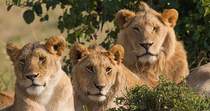 Lions Masai Mara Kenya Benh LIEU SONG