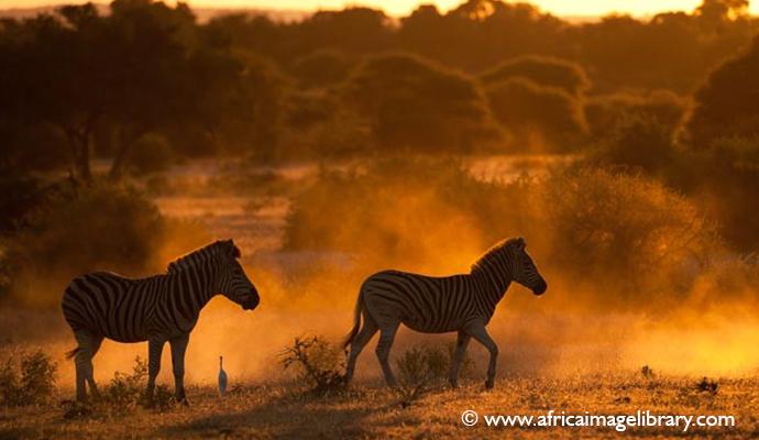 Zebras Botswana by Ariadne Van Zandbergen