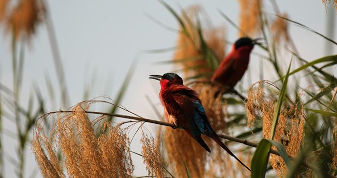 Carmine bee-eaters, Botswana by dirkr, Shutterstock