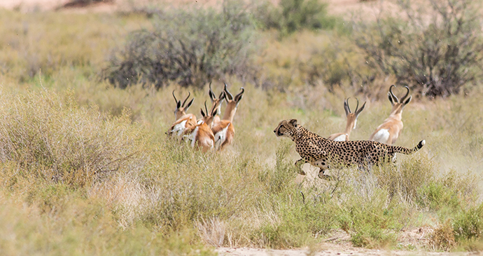 Cheetah, Botswana by Antero Topp, Shutterstock