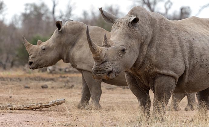 rhino, Botswana by bassvdo, Shutterstock