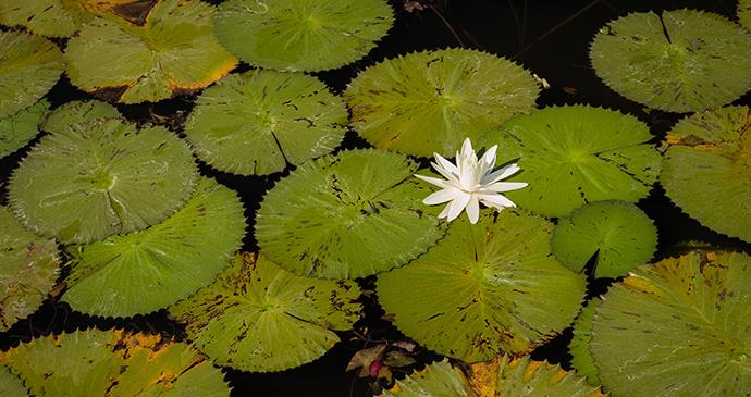Lily, Okavango Delta, Botswana by Janelle Lugge, Shutterstock