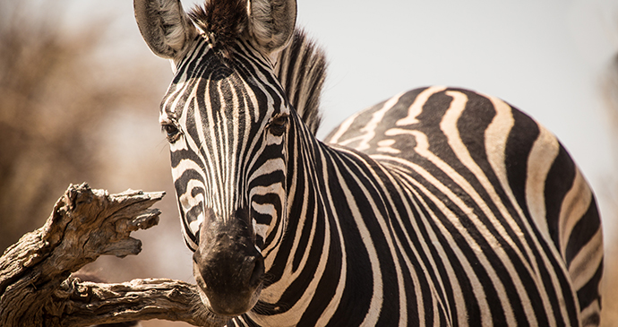 Zebra, Moremi Game Reserve, Botswana by Janelle Lugge, Shutterstock