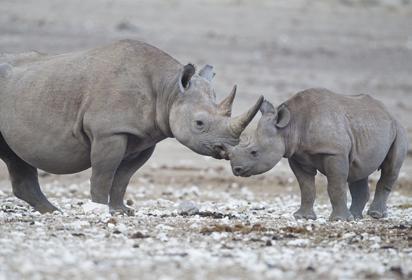 Black rhinos, Botswana by Yathin S Krishnappa, Wikipedia