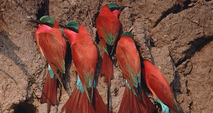 Carmine bee eaters at their nesting site, Okavango Delta, Botswana by outdoorsman, Shutterstock