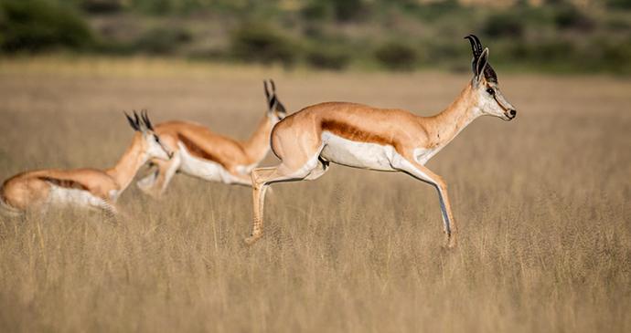 Springbok, Central Kalahari Game Reserve, Botswana by Simon Eeman, Shutterstock