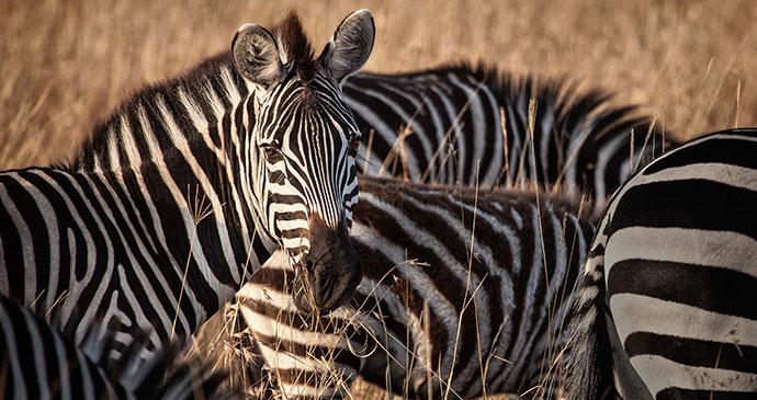 Zebra, Kwando and Linyanti rivers, Botswana by 2630ben, Shutterstock