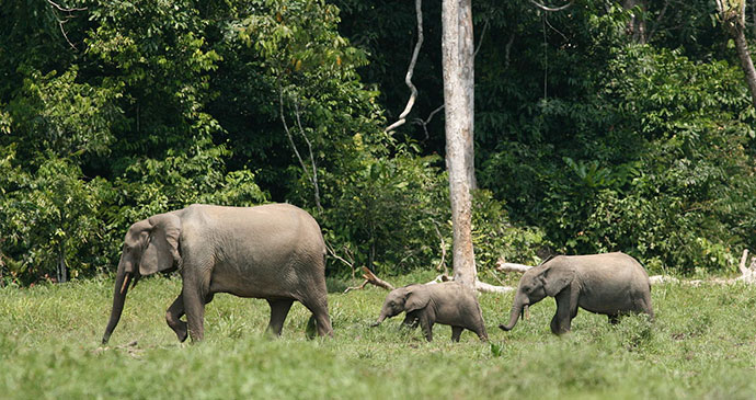 Forest elephants Monte Alen National Park by U.S. Fish and Wildlife Service Headquarters, Wikimedia Commons